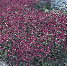 Zing Rose Dianthus- 	A knockout border or groundcover. These Maiden Pinks bear bright rose-red flowers from June well into summer, covering mats of dense green evergreen foliage that turns purplish-red in winter. Grows 6 inches high with a 12 inch spread.