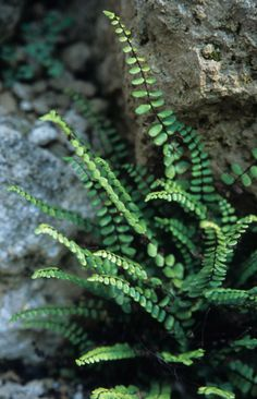 """Asplenium trichomanes (Maidenhair Spleenwort). This small, fragile-looking native fern is incredibly tough once established. Its diminutive evergreen fronds form adorable short tufts of green and appear like miniature versions of our common sword fern. This fern is very cute and once it is established it is even easy to grow in dry shade. 9"""" x 9"""""""