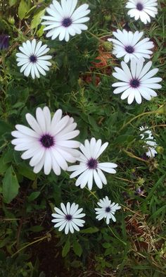 Thought that these velt daisies from south africa were quite nice 😊.