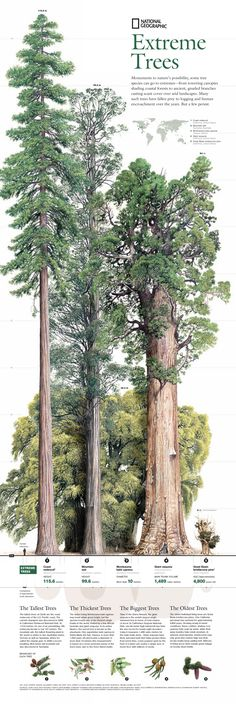 The tallest, biggest, thickest, oldest trees: http://en.wikipedia.org/wiki/Sequoia_sempervirens -->> http://en.wikipedia.org/wiki/Eucalyptus_regnans -->> http://en.wikipedia.org/wiki/Sequoiadendron_giganteum -->> http://en.wikipedia.org/wiki/Taxodium_mucronatum -->> http://en.wikipedia.org/wiki/Great_Basin_Bristlecone_Pine