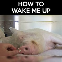 Works every time...  Credit: Esther the Wonder Pig