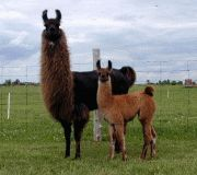 A guard llama is a llama used in farming to protect sheep, alpacas, goats or other livestock from coyotes, dogs and other predators Future Farms, Coyotes, Alpacas, Livestock, Amish, Farming, Homestead, Sheep, Goats