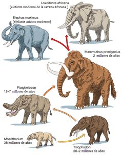 elephant evolution Source by Prehistoric Wildlife, Prehistoric World, Prehistoric Creatures, Especie Animal, Animal Facts, Elephas Maximus, Giant Animals, Jurassic, Asian Elephant