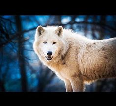 Tundra Wolf by Jan Vintr