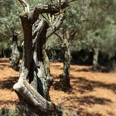 New Sponsorship, a Centennial Olive Tree.  #serratramuntana #mallorca #majorca #nature #olivetree #oil #mallorca #beachlover #ig_balears  #balearicislands #majorca #travel #luxury #money #love #famous #exclusive  #like4like #likes4likes #likeforlike #likesforlikes #f4f #followforfollow #follow4follow #follow4followback #followforfollowback #tags4tags #like4tags #like4follow #likeforfollow