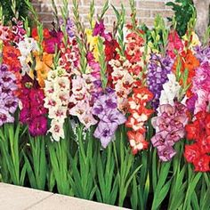 A colorful gladiolus mix that fits small spaces, including containers. Enjoy up to 20 blooms on each stem throughout the summer. Lovely in bouquets! Gladiolus Wedding, Gladiolus Bouquet, Gladiolus Arrangements, Gladiolus Tattoo, Gladiolus Bulbs, Tulip Bouquet, Gladioli, Irises, Garden Bulbs