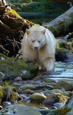 ★ Glamorous Green ★ This is the rare Kermode Bear, also known as a spirit bear  Visit our Page -► Amazing Facts and Nature ◄- For more. https://www.facebook.com/AmazingFactsandNature1/photos/a.785268561489505.1073741828.776792315670463/1033684953314530/?type=1
