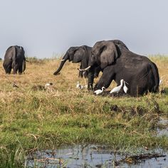 Savannah Friends for ever at Chobe's in Botswana Africa.