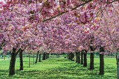 Many of the trees and flowers at the Brooklyn Botanic Garden are expected to blossom the week of April 7, 2014.