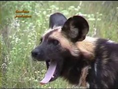 SpectAfrica guides in Kruger Park with calls of lion rino baboons and wi... Colorful Fish, Tropical Fish, Freshwater Aquarium, Aquarium Fish, African Cichlids, Baboon, Wildlife Conservation, Africa Travel, Ocean Life