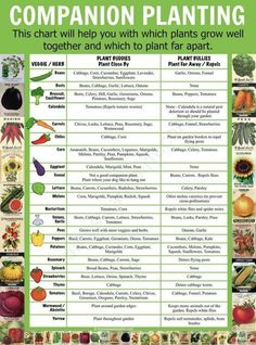 Companion Planting Chart What Not To Plant Together