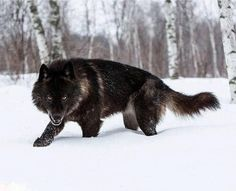 Wolfdog  Half wolf - half German Shepherd