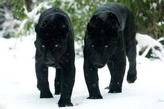 A pair of black panthers walking in the snow. #blackpanthers #snow #mascot