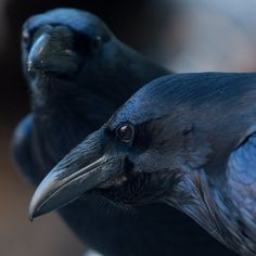 Ravens Are Ridiculously Smart, Seem To Be Able To Plan For The Future