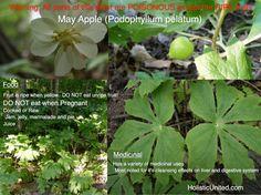 May Apple (Podophylum pelatum)  @Holistic United  #wild edible #may apple