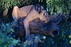 New tree-climbing lions in South Luangwa - Africa Geographic