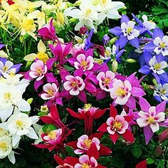 Mix Garden Columbine Seeds 10 Original Packs 50 Seeds *** Check out the image by visiting the gardening link.