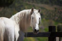 White Andalusian horse - Julia Moll » Pura Raza Española (PRE)