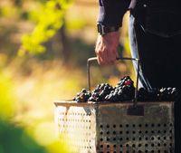 Grape picking, Barossa, South Australia