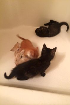 Bath tub fun! Notice how the orange brothers are always duking it out. #rescue #adoptdontbuy #kitten #kittens
