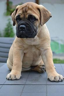 """The breed is commonly referred to as the """"Mastiff"""". Also known as the English Mastiff this giant dog breed gets known for its splendid, good natu Bull Mastiff Puppies, English Mastiff Puppies, Mastiff Breeds, English Mastiffs, Cute Baby Animals, Animals And Pets, Cute Puppies, Dogs And Puppies, Doggies"""