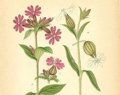 Image result for botanical illustration red campion