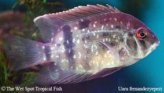 "Uaru fernandezyepezi ""Panda Uaru"" Colorful Fish, Tropical Fish, Freshwater Aquarium, Aquarium Fish, South American Cichlids, Cichlid Fish, Wet Spot, African Cichlids, Triangle Shape"