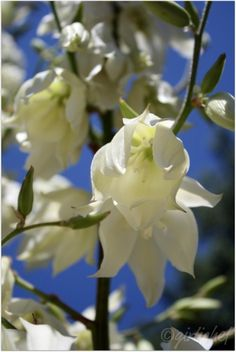 The State Flower of New Mexico is the Yucca flower, which was adopted in 1927.