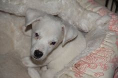 Ollie is an adoptable jack russell terrier searching for a forever family near New River, AZ. Use Petfinder to find adoptable pets in your area. Mini Dachshund, Dachshund Puppies, Dachshund Adoption, New River, Jack Russell Terrier, Searching, Pets, Animals, Animales