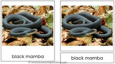 Snakes -  Montessori 3-Part Classified Cards - Includes 14 types of snakes