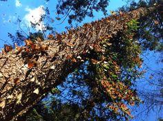 Natural Phenomena Monarch Migrations Source: Going Wild