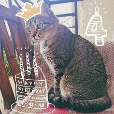 Gatíneaaaaa!!! Birthday girl!!!  amo muito esta ronron do amor!!!  ps: fiquei com Enveja de vcs que fazem foto trabalhada do mesversario do bebe e fiz uma tb!  ps2: Fiona ganhou whiskas sachê e tá feliz da vida!  ps3: Fiona manda dizer que é uma palhaçada ficar usando ela pra ganhar likes!!  #cats #instacats #catsofinstagram #pets #gatices #amo #love #maternity