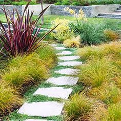 Bands of thyme running between 2-foot-square sand-washed concrete pavers on a winding path in Alamo, CA. The bold look adds structure to the blowsy backyard meadow of tawny Carex testacea grasses, accented with pink 'Maori Chief' phormium and yellow kangaroo paw are drought friendly.