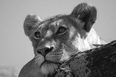 Lionne dans les arbres : Noir et blanc : Lions : Animaux : Animaux : Parc national du lac Manyara : Le Nord et les grands parcs nationaux : Tanzanie : Routard.com