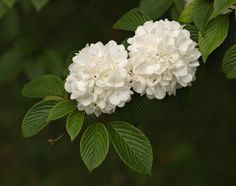 """Still Waters--Notes from a Virginia Shire: """"Fall Flowers: Snowball Bush"""" Pom Pom Flowers, Fall Flowers, Flowers Garden, Cut Flowers, White Flowers, Snowball Viburnum, Small Yard Landscaping, Landscaping Ideas, Hydrangea Not Blooming"""