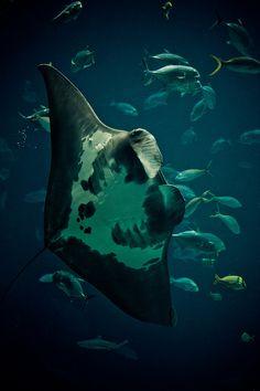 Manta Ray by Shannon O'Toole