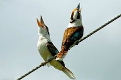 Two kookaburras in Lismore, New South Wales, have a laugh. ABC Open contributor Nardoo