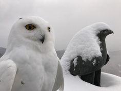 Die Schnee-Eule (Bubo scandiacus, Syn.: Bubo scandiaca, Nyctea scandiaca, Schneeeule) ist eine Vogel-Art aus der Familie der Eigentlichen Eulen (Strigidae), die zu den charakteristischen Vögeln der arktischen Tundra zählt. Der Greifvogelpark in Landskron wurde 1983 gegründet und zählt zu einer der beliebtesten Sehenswürdigkeiten in Kärnten. Von den Falknern wird wertvolle Aufklärungsarbeit zu Greifvogel- und Eulenschutz geleistet. Owl, Bird, Animals, Horned Owl, Animales, Animaux, Owls, Birds, Animais