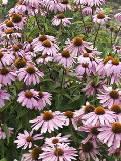 Magnus Purple Coneflower - perennial blooms June-August; 36 inches; butterfly and bird friendly