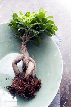 Ficus microcarpa – bonsai, pruning, watering, care and pest management Ficus Ginseng Bonsai, Ficus Bonsai Tree, Ginseng Plant, Bonsai Pruning, Bonsai Tree Care, Bonsai Tree Types, Ficus Microcarpa, Types Of Succulents, Planting Succulents
