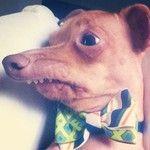 Tuna, the Mr. Burns look alike dog. #tunameltsmyheart | Statigram