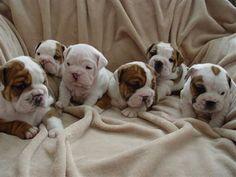 Meet the Bulldog: Bulldog
