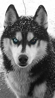Look at this amazing husky