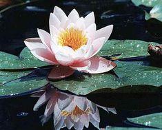 Фото 1 цветок лотоса