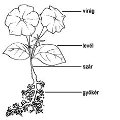 """Képtalálat a következőre: """"lágyszárú növények rajz"""""""