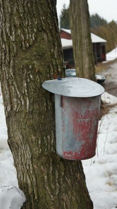 Old fashoned pail for collecting maple syrup