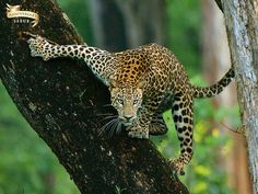 Lifescapes » Blog Archive The Family Tree - Leopard at Kabini
