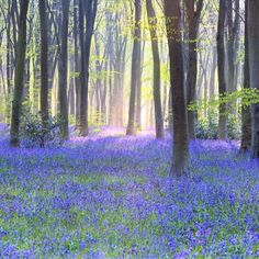 """Bluebell woods in danger of being wiped out by climate change """"Spring plants have an optimum time for coming into leaf and flower which gives them the best chance to grow and reproduce but with rising temperatures caused by global warming that time is likely to shift. Some plants such as bluebells may not be flexible enough to keep up with the shift in spring and may suffer as a result the research suggests."""" 