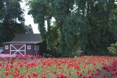 Dahlia Festival Canby, Oregon ~ acres of Dahlias!