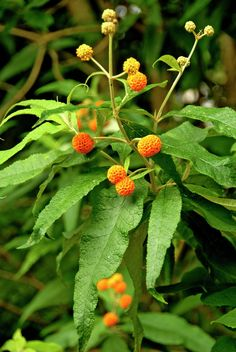 orange ball tree • Buddleja globosa • Chilean orange ball tree • round-headed buddlea • Plants & Flowers • 99Roots.com